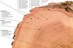 Структура древесины дуба