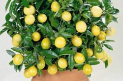 Лимонник