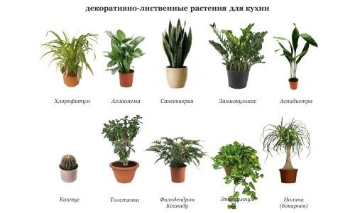 Декоративно-лиственные растения для кухни
